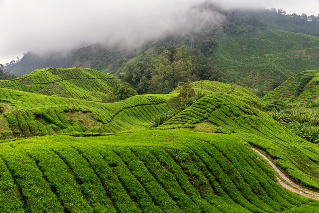 This image has an empty alt attribute; its file name is views-of-tea-plantation-in-cameron-highlands-malay-X9DCSX8-1024x684.jpg
